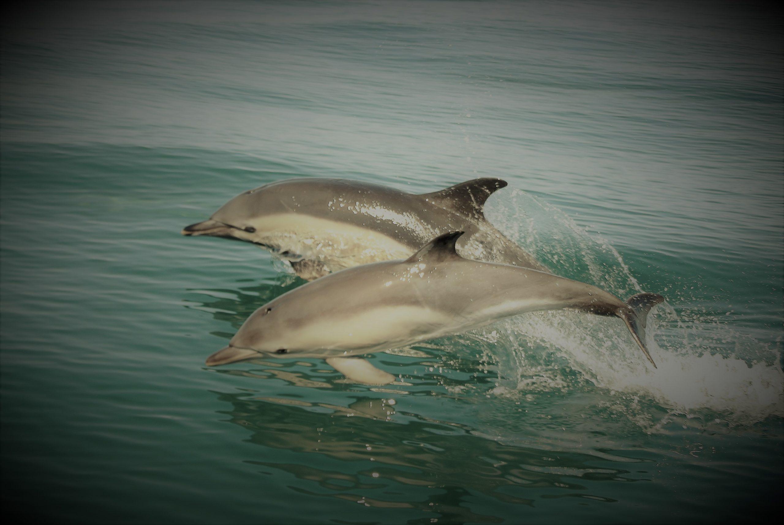 Dolphins, Pembrokeshire coast